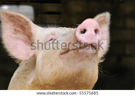 shallow DOF portrait of a young pig begging for a kiss (or food?) (focus on eye) - stock photo