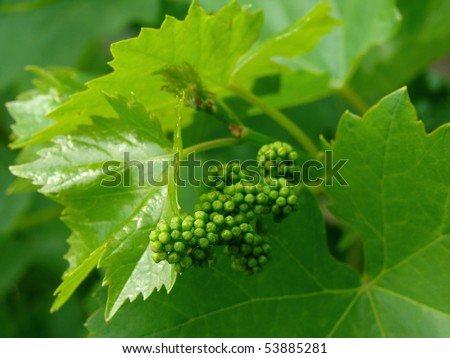 shallow DOF vine sprout with young grape cluster - stock photo