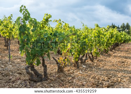 Shallow focus picture of a vineyard row full of young green grapes