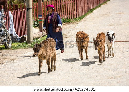 Shangri-La China - May 9, 2016 : Unidentified indigenous woman leads her cows going  back home at Xiaojiezi village .