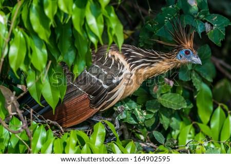 Shansho between branches peruvian Amazon jungle Madre de Dios Peru - stock photo