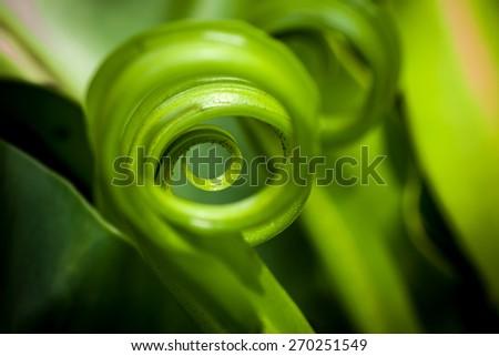 shape of Bird's nest fern leaf - stock photo