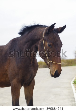 shapely brown horse with short black mane stand on gray pavement