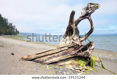 Shapely driftwood on beach along Puget Sound - stock photo