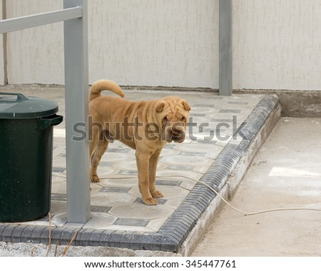 shar pei dog in the yard