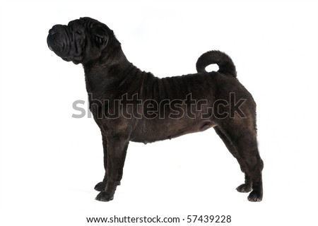 Shar-Pei Dog Show Stack shot on white - stock photo