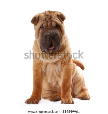 Shar Pei dog sit in studio, isolated on white background