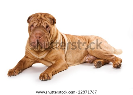Shar pei on white backgrond