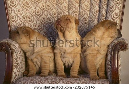 Shar-Pei Puppies Sitting in a Chair - stock photo