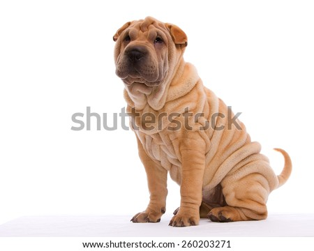 Shar Pei Puppy - stock photo