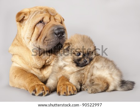 shar pei puppy and Spitz
