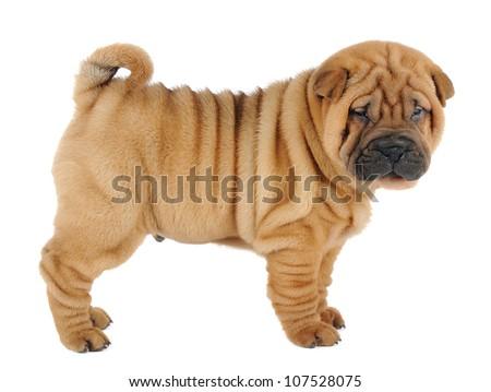 Shar pei puppy in studio on white background - stock photo