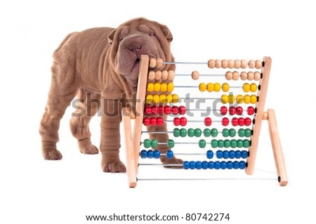 Shar-pei puppy is learning to count with Abacus, isolated on white background - stock photo