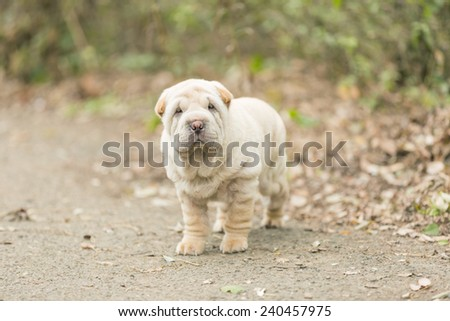 Shar Pei puppy outdoors. - stock photo