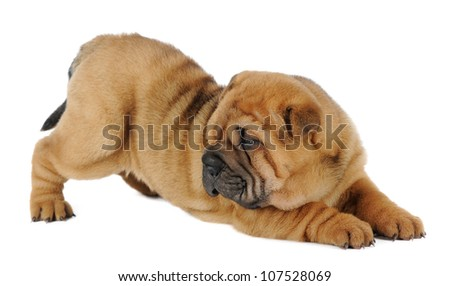 Shar pei puppy playing  in studio on white background