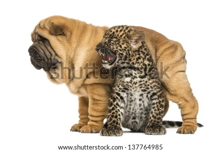 Shar pei puppy standing over a roaring spotted Leopard cub, isolated on white