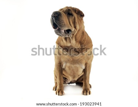 Shar-pei staying in the white studio - stock photo