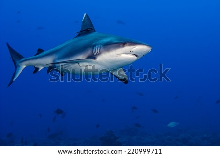 shark attack underwater in the deep blue sea - stock photo