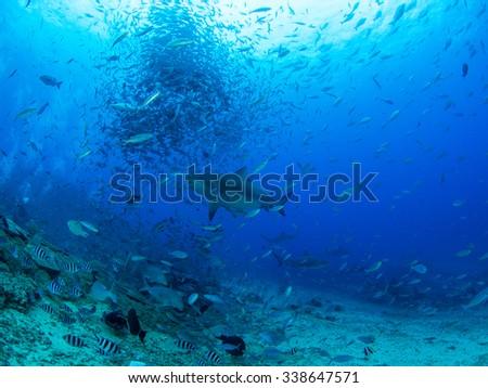 Shark & bait ball - stock photo