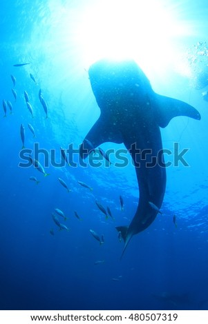 Shark beneath the water surface