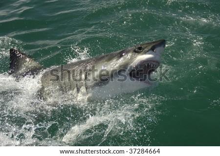 SHark Breaching - stock photo