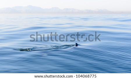 Shark fin breaking the surface of the sea in False Bay - stock photo