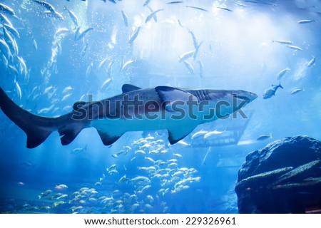 Shark in an aquarium - stock photo