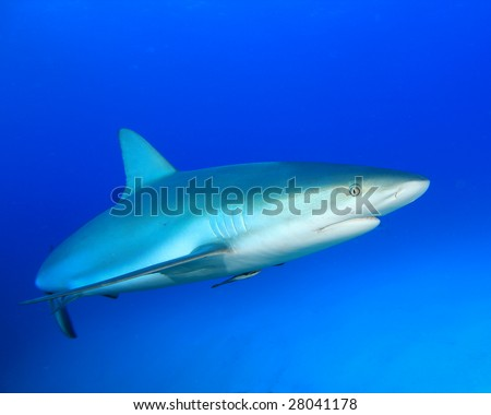 Shark in Blue Water - stock photo