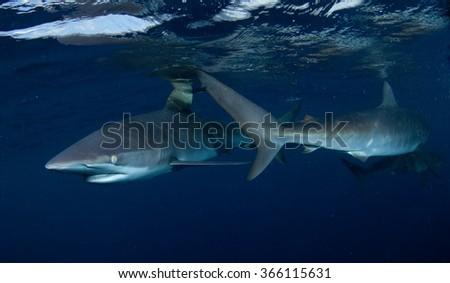 Shark in Papua New Guinea - stock photo