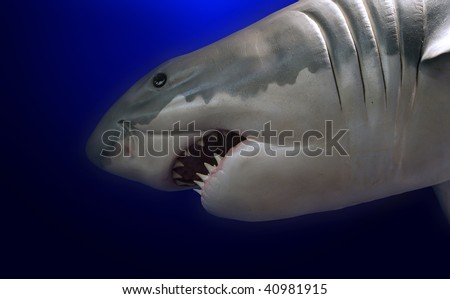 shark on the blue background - stock photo