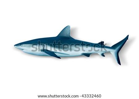 Shark on white background - stock photo