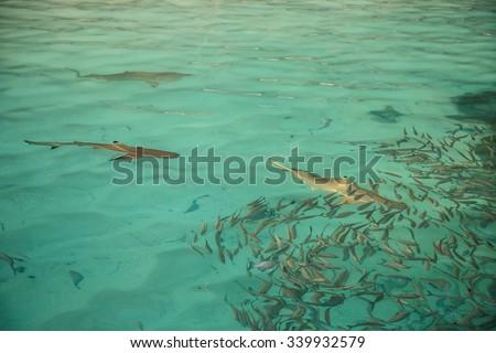 shark preys on fish - stock photo