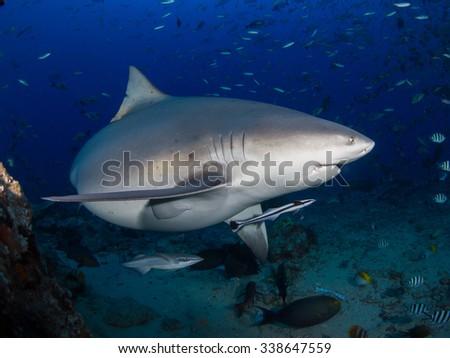 Shark profile - stock photo