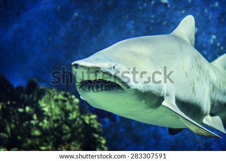 Shark. Underwater shot of sharks in the ocean. - stock photo
