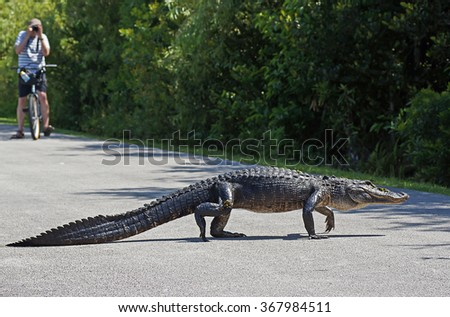 SHARK VALLEY, FLORIDA, USA - 9 MAY 2013 - Tourist photographing american alligator walking across bicycle path at Shark Valley in the Everglades National Park