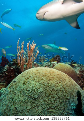 Sharks and coral reef with hard coral