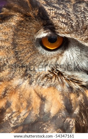Sharp eye from a vigilant owl