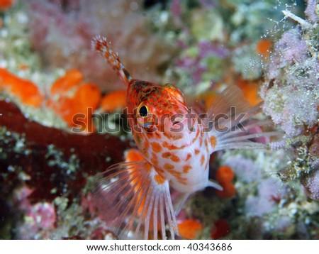 sharp-headed hawkfish - stock photo