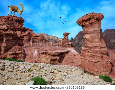 Sharp-horned mountain goat in the Eilat Mountains. Unique  outcrops  in the mountains of pink sandstone - stock photo