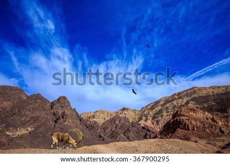 Sharp-horned mountain goat in the Eilat Mountains.Warm January day - stock photo