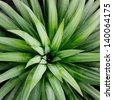 Sharp pointed agave plant leaves bunched together - stock photo