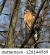 Sharp Shinned Hawk - stock photo