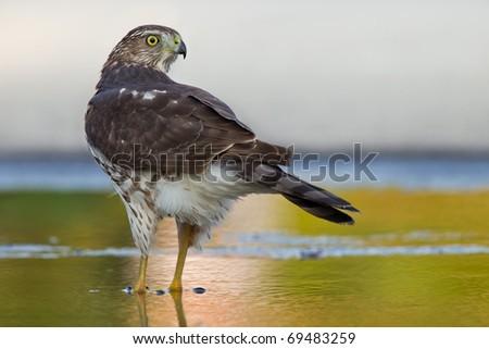 sharp-shinned hawk in a green wet spot watching back - stock photo