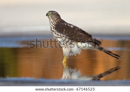 sharp-shinned hawk in a wet spot