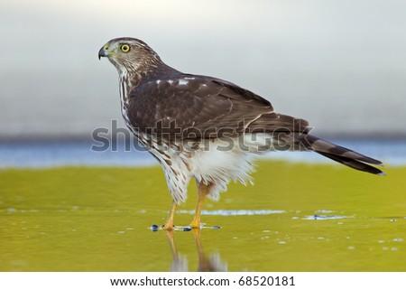 sharp-shinned hawk in a wet spot - stock photo
