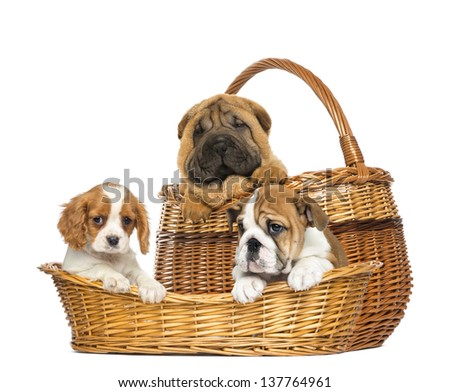 Sharpei, Cavalier King Charles and English Bulldog puppies in wicker baskets - stock photo