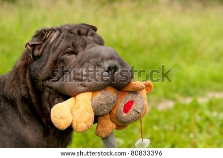 Sharpei dog is playing with her teddy bear in sunny park - stock photo