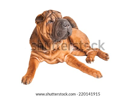Sharpei dog isolated on white background. Studio photo. - stock photo