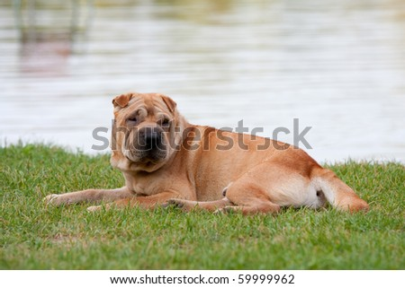 sharpei dog with beautiful lake - stock photo