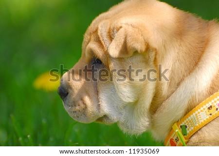 sharpei puppy - stock photo